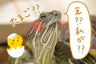 かめたんが卵を産んだ…らしい??