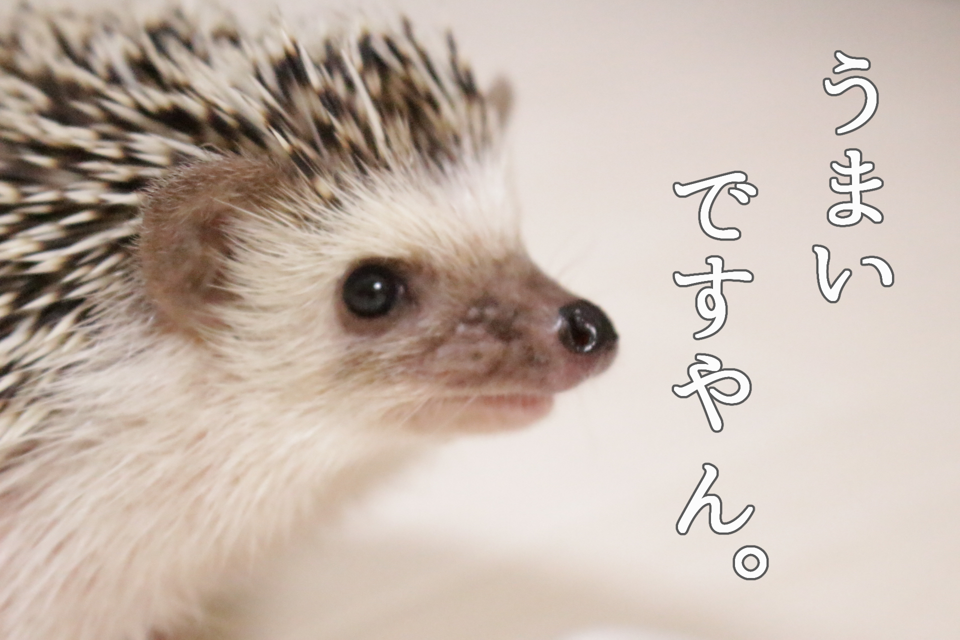 ハリネズミ ジクラアギト小動物万能ゼリー