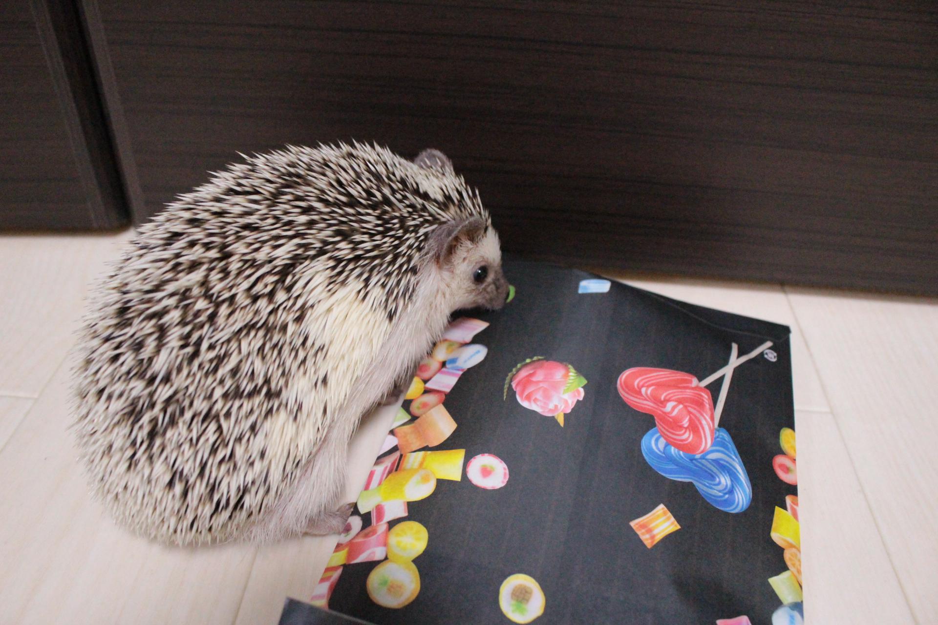 ハリネズミ candylabo