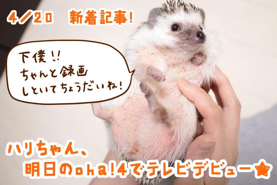 ハリネズミ oha!4 ハリちゃん