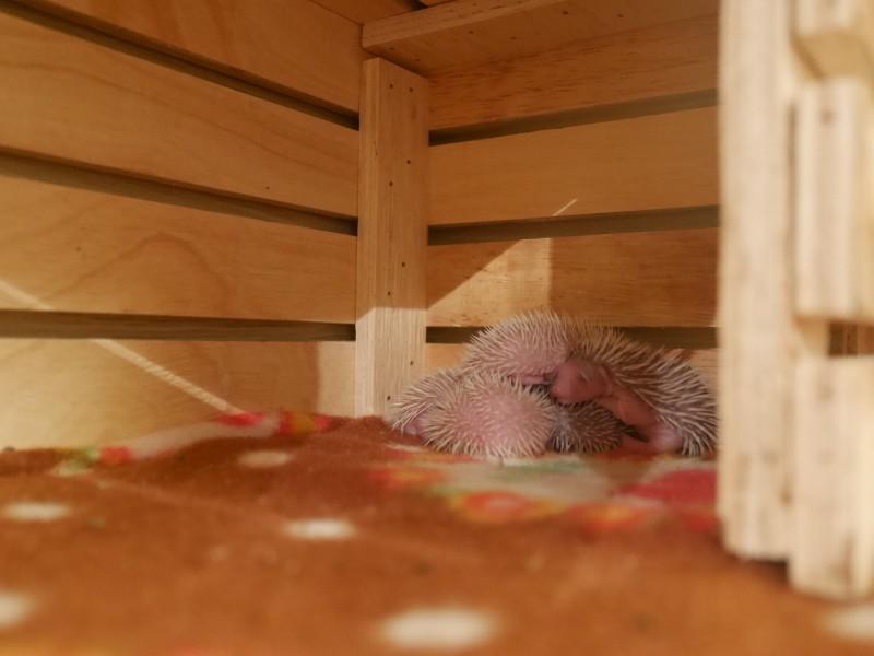きょうのハリネズミちゃん