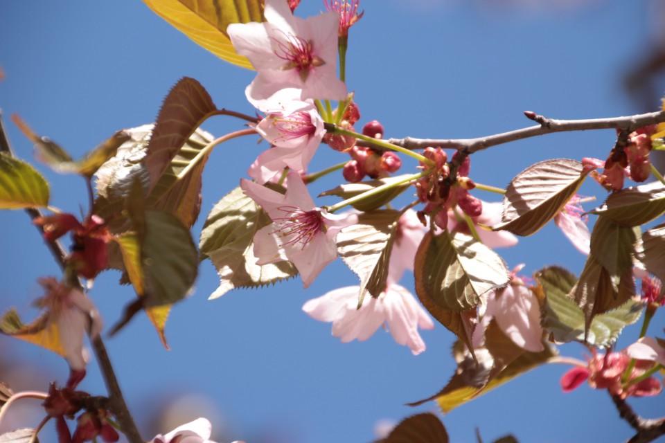 ハリネズミ お花見