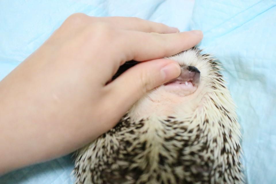 ハリネズミ 液体歯磨き 歯肉炎 歯周病 マキシガード