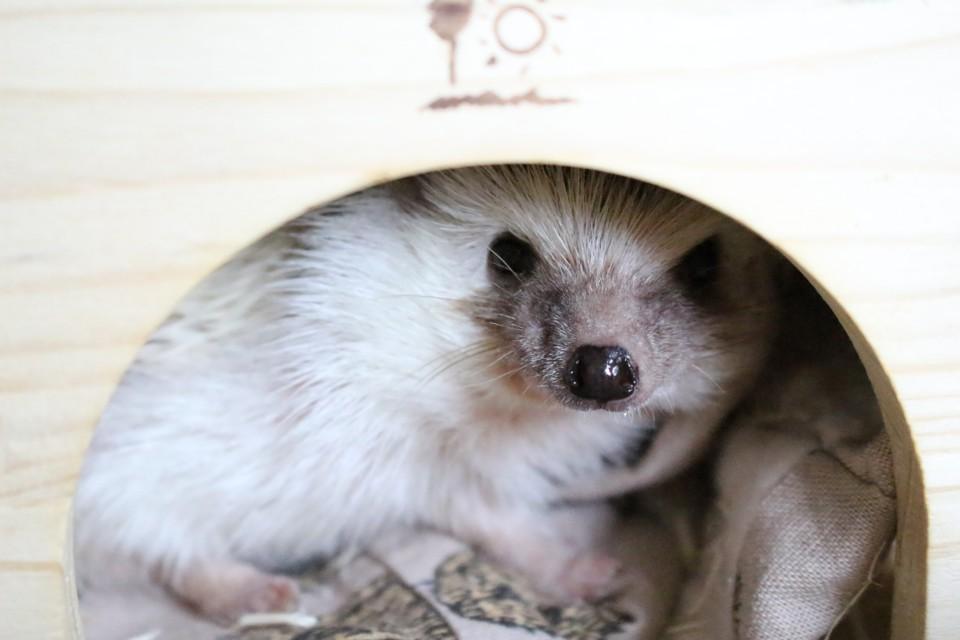 ハリネズミ 跳び箱ハウス