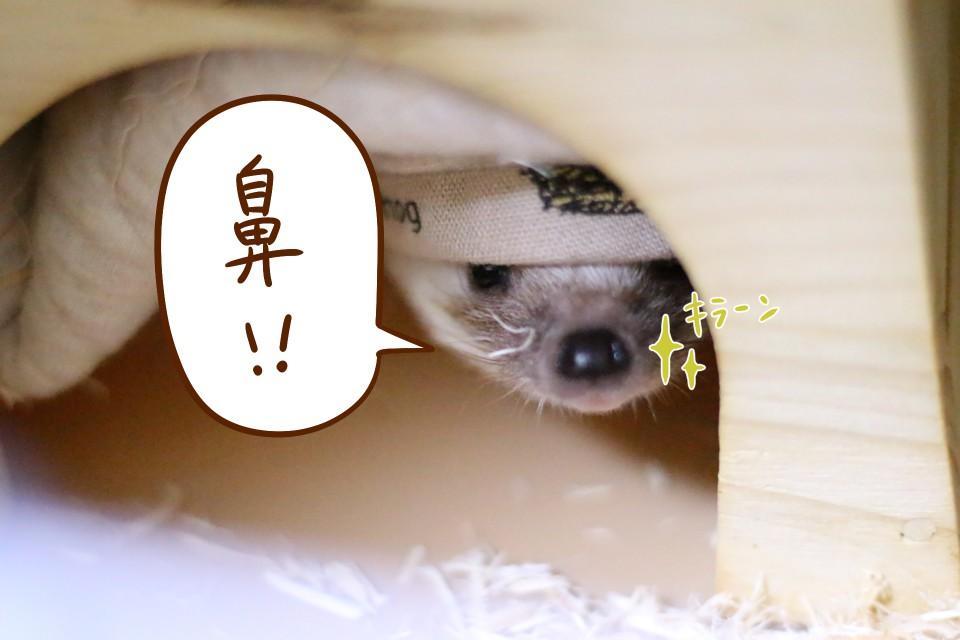 ハリネズミ 鼻