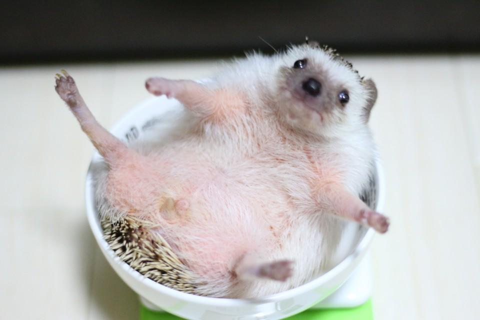 ハリネズミ 体重
